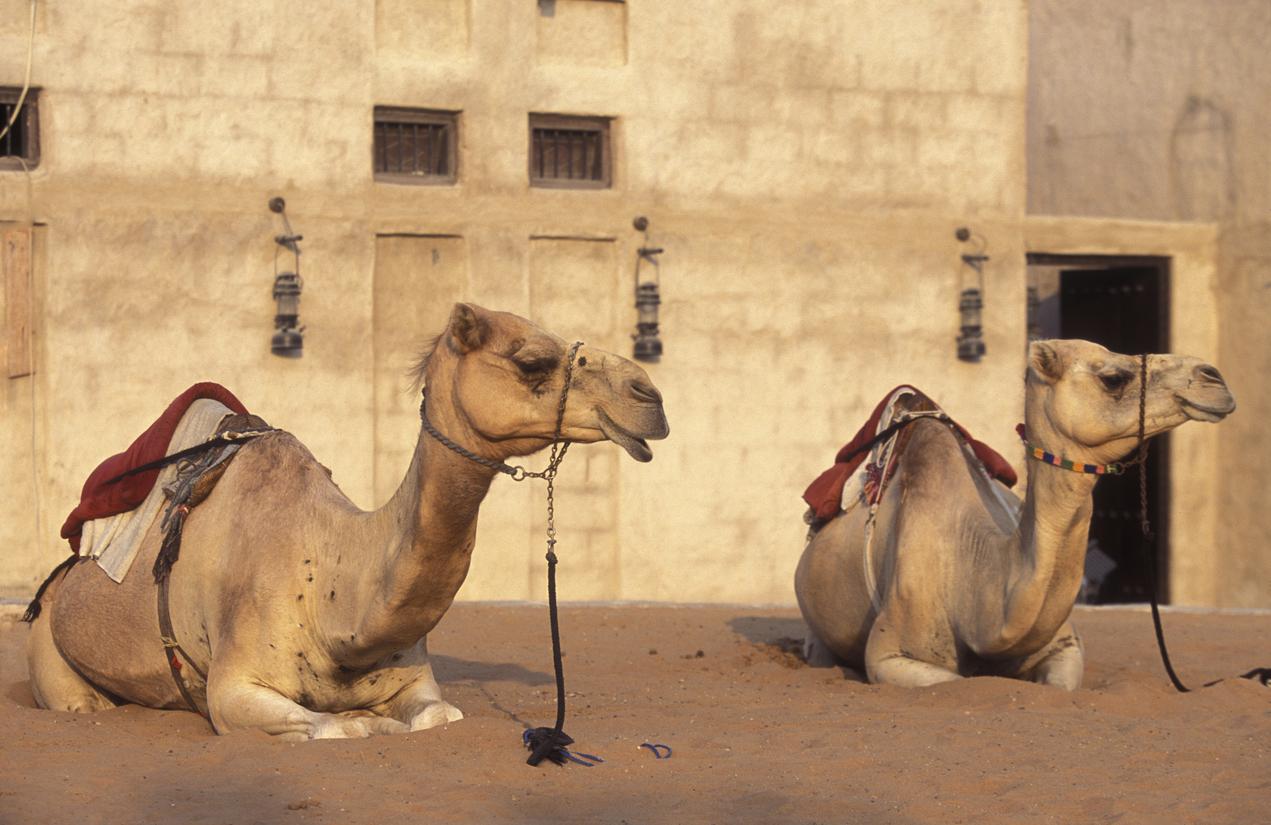 Lisaili Camel Market Dubai hidden treasure