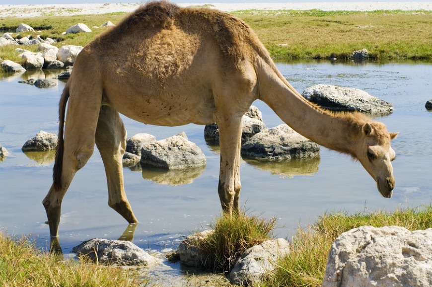 Saudi Arabia has the largest camel market in the world