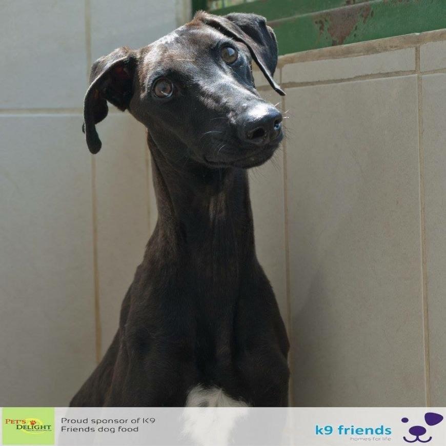 Adopt a dog in Dubai - April at K9 Friends