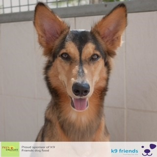 Adopt a Dog in Dubai - Daisy at K9 Friends