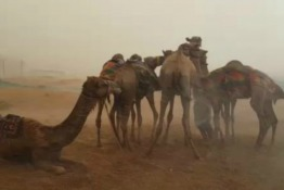 Watch: Camels Battle the Stormy Weather in the UAE