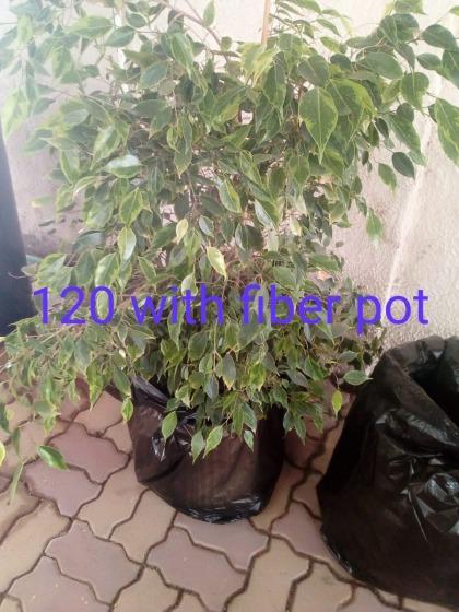 Fiber and plastics pots/plants for sale half price